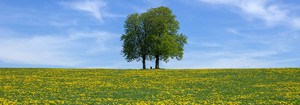 Two green trees far away on a green meadow and blue sky