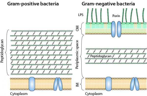 Gram-positive bacteria are surrounded by a plasma membrane and a thick mesh-like peptidoglycan cell wall (left). Gram-negative bacteria are surrounded by an inner membrane, a thin peptidoglycan layer and an outer membrane.