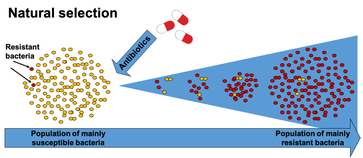 The process of natural selection of resistant bacteria. Antibiotics kills sensitive bacteria but any resistant bacterium will survive. When the competition from other bacteria are gone, these resistant bacteria can increase in number.