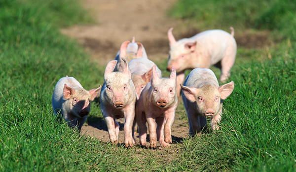 young-pigs-in-free-range