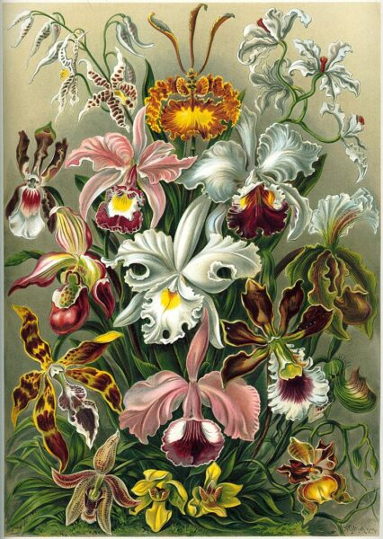A still life drawing, in oil, of many kinds of orchids, mostly of the Cattleya and Oncidium genera.